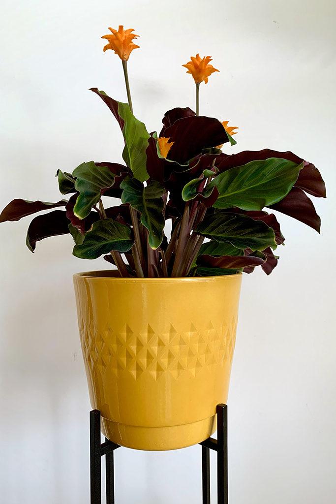 żółta doniczka, żółta osłonka na dużą roślinę